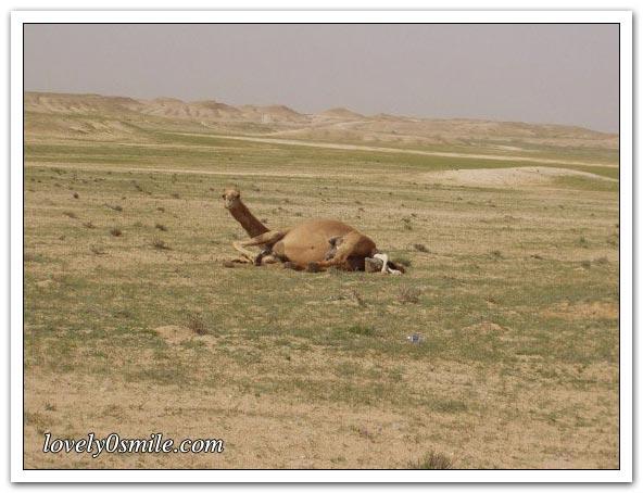 تأمل روعة الخالق - صور عجيبة Camel-delivery-01