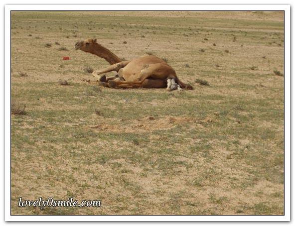 تأمل روعة الخالق - صور عجيبة Camel-delivery-02