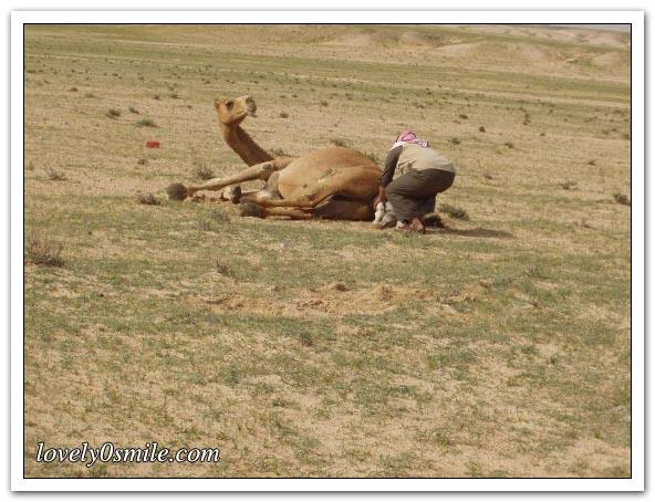 تأمل روعة الخالق - صور عجيبة Camel-delivery-03