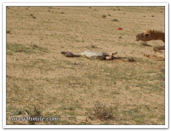 تأمل روعة الخالق - صور عجيبة Camel-delivery-05