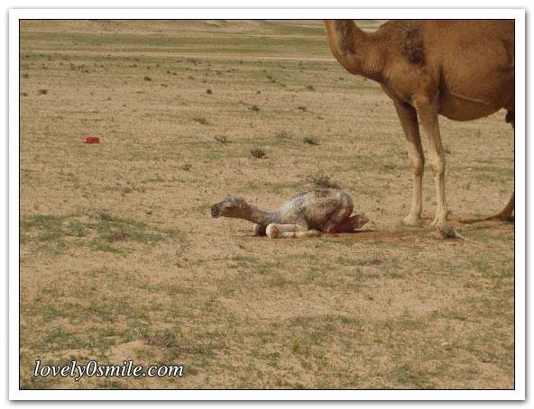 تأمل روعة الخالق - صور عجيبة Camel-delivery-07