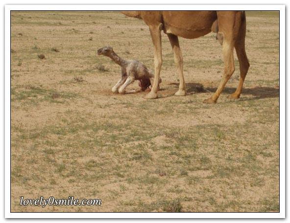 تأمل روعة الخالق - صور عجيبة Camel-delivery-08