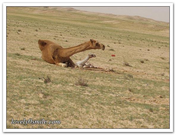 تأمل روعة الخالق - صور عجيبة Camel-delivery-10