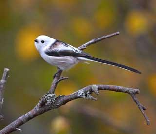 oiseau -Ajonc - 7 octobre trouvé par Martine 12418