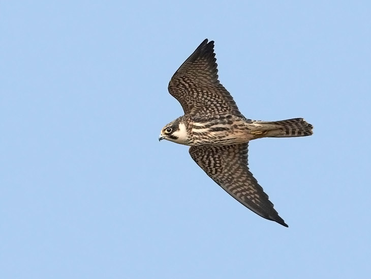 Falconiformes. sub Falconidae - sub fam Falconinae - gênero Falco - Página 3 1842