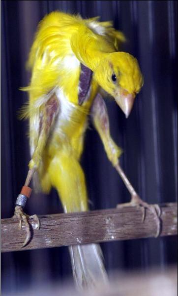 طيور الكناري موسوعة شامله وبكل ما يتعلق بالكناري وصوره والتزاوج والتفريخ  030611060345p0f3gihmnikw0q