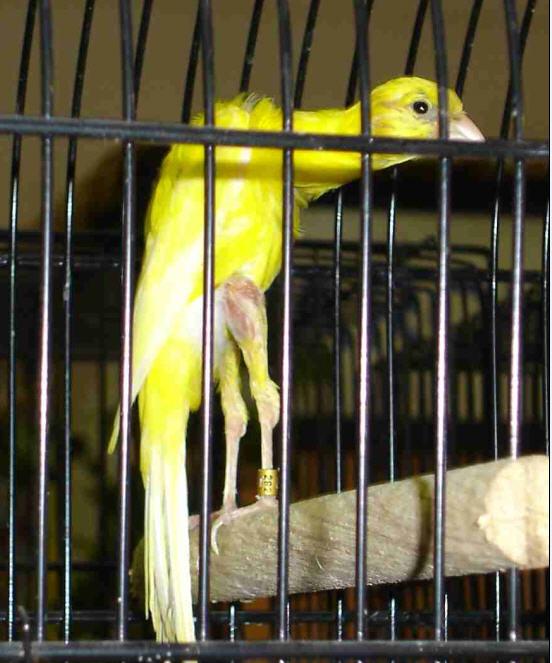طيور الكناري موسوعة شامله وبكل ما يتعلق بالكناري وصوره والتزاوج والتفريخ  030611060358ocat0rvtpo