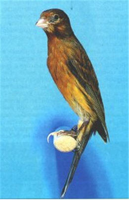 طيور الكناري موسوعة شامله وبكل ما يتعلق بالكناري وصوره والتزاوج والتفريخ  030611070310z6vo6d5q8mj4