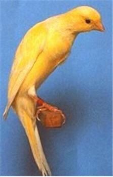طيور الكناري موسوعة شامله وبكل ما يتعلق بالكناري وصوره والتزاوج والتفريخ  030611070338ual7fckauf6vaff8