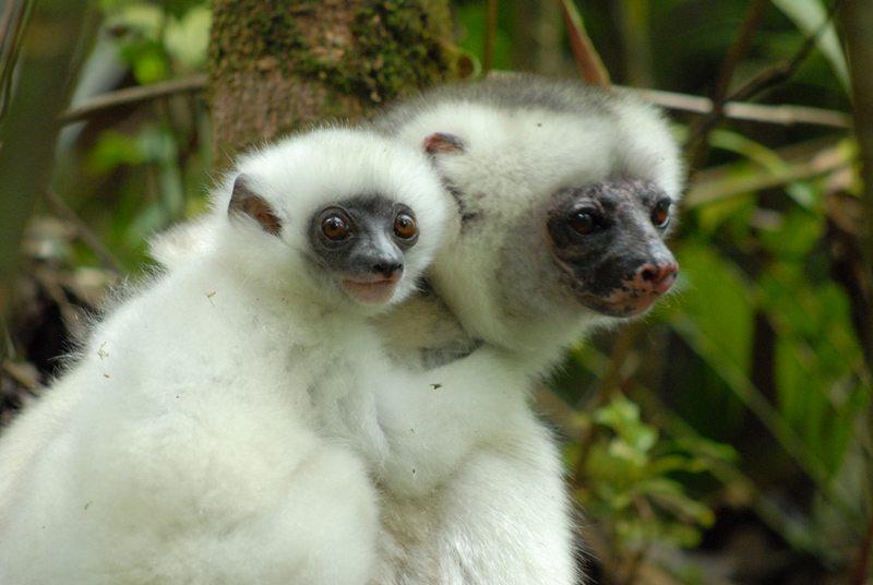 Animal de martine - 2 mars trouvé par le gros nounours et le ptit singe Faune-propitheque