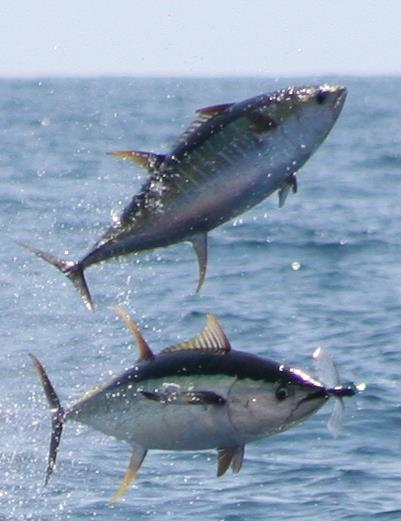 Atún recomendación de equipos SHIMANO Yellowfin_tuna_flying