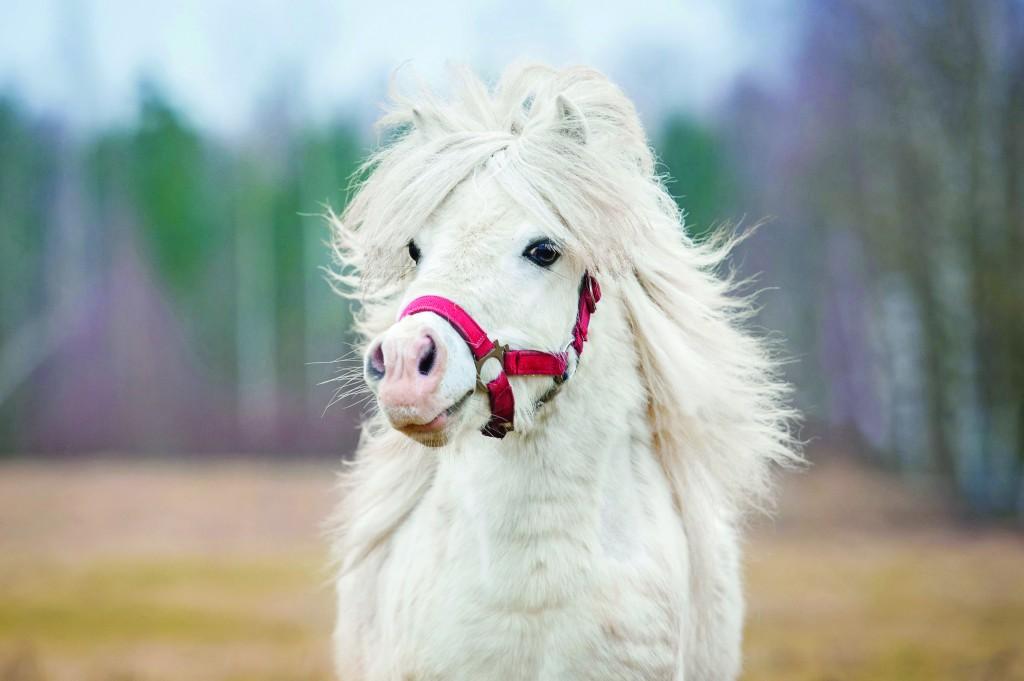 les chevaux.. - Page 16 Poneyblanc-1024x681