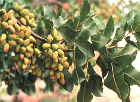 اشجار نستهلك ثمارها ولا نعرف شكلها 40_203281_1262031723