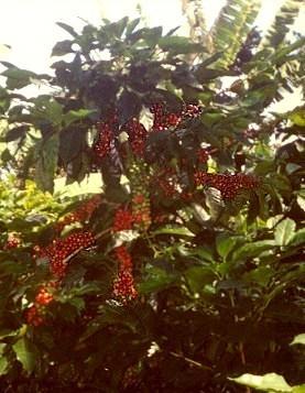 اشجار نستهلك ثمارها ولا نعرف شكلها 40_203281_1262031763