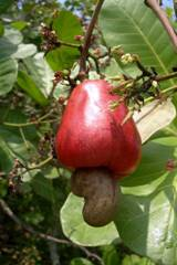 اشجار نستهلك ثمارها ولا نعرف شكلها 40_203281_1262031793