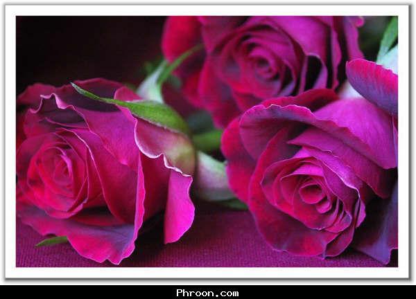 في روحك  وردة لمن   ترسل عطرها  / إهداء  لمن تحب بلغة الورد 41_101055_1171479781