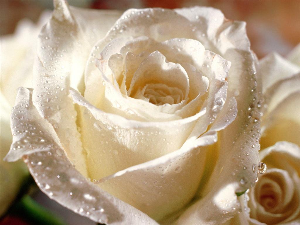 من هنا اجمل الورود لتهديها لاصدقائك واحبابك في المنتدى وخارج المنتدى  41_17618_1158336968