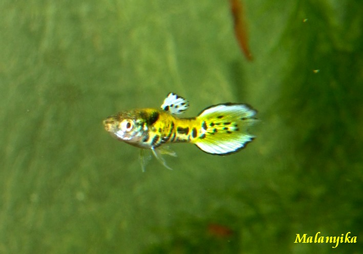 Arrivage des micro fish Endlers%20tiger