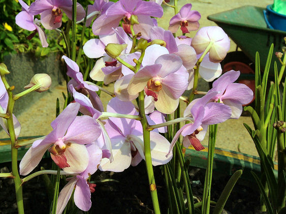 زَهّرةْ الأُوركِّيدْ المَلِكة المُّتوجة .. Orchid1