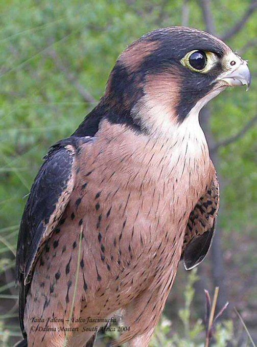 Falconiformes. sub Falconidae - sub fam Falconinae - gênero Falco 00000011545
