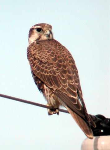 Falconiformes. sub Falconidae - sub fam Falconinae - gênero Falco - Página 2 00000002899