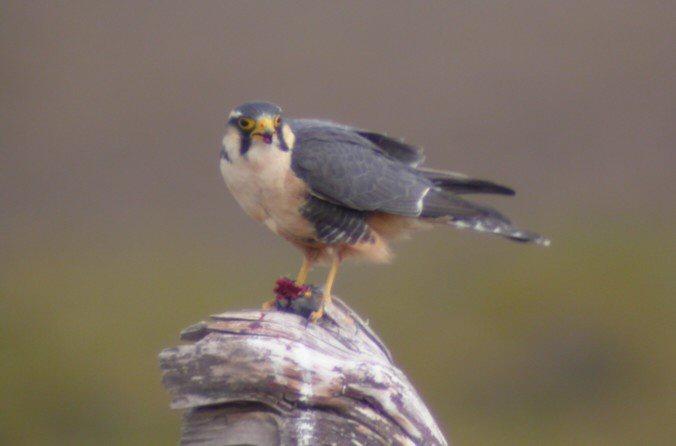 Falconiformes. sub Falconidae - sub fam Falconinae - gênero Falco 00000005445
