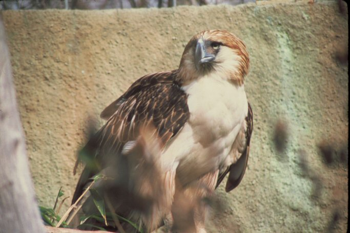 Falconiformes. Família  Acciptridae - Subfamília Buteonidade-Águias coroadas - gênero Pitecophaga jefferyi . Águia das Filipinas. 00000006610