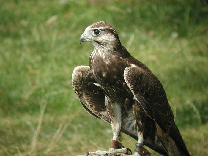 Falconiformes. sub Falconidae - sub fam Falconinae - gênero Falco - Página 2 00000008736