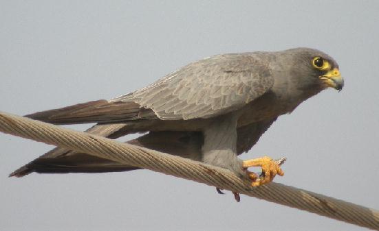 Falconiformes. sub Falconidae - sub fam Falconinae - gênero Falco 00000010394