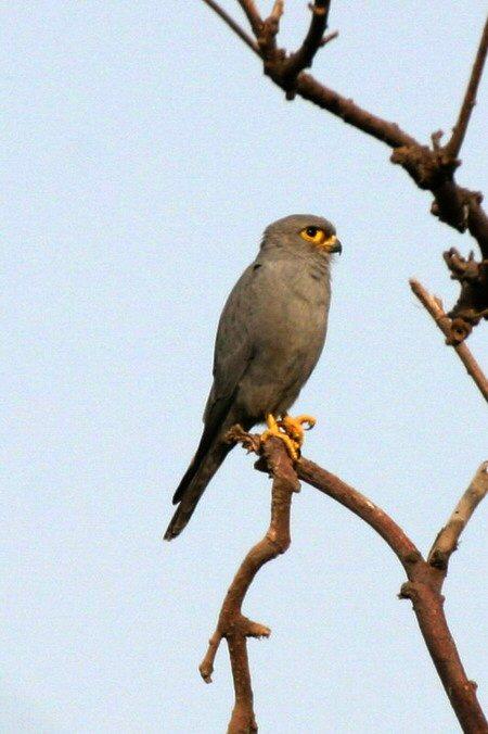 Falconiformes. sub Falconidae - sub fam Falconinae - gênero Falco 00000011427