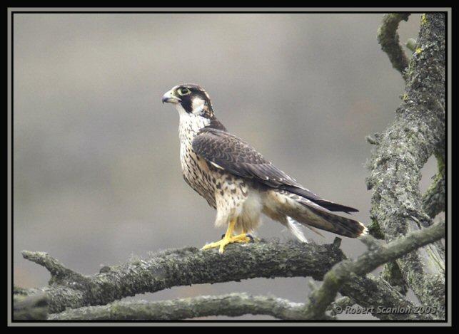 Falconiformes. sub Falconidae - sub fam Falconinae - gênero Falco - Página 2 00000012023