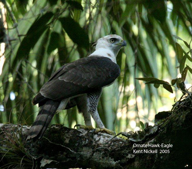 Falconiformes. Família  Acciptridae - Subfamília Buteonidade- Gaviões de penacho. genêro SPIZAETUS 00000012283