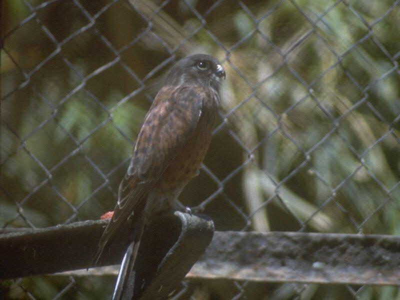 Falconiformes. sub Falconidae - sub fam Falconinae - gênero Falco - Página 2 00000013806