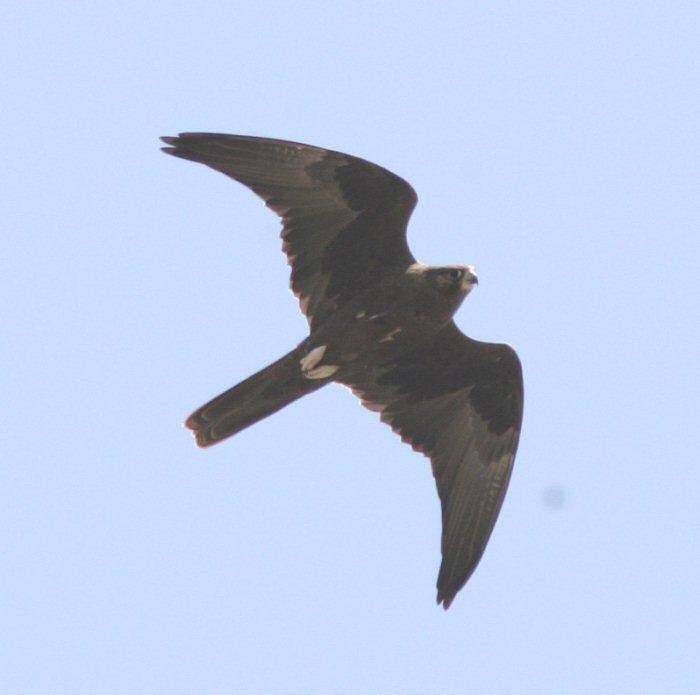 Falconiformes. sub Falconidae - sub fam Falconinae - gênero Falco - Página 3 00000017687