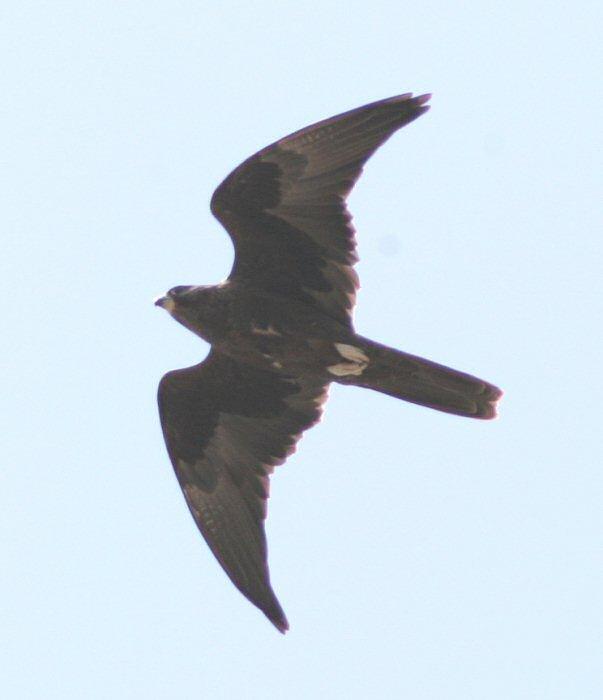 Falconiformes. sub Falconidae - sub fam Falconinae - gênero Falco - Página 3 00000017688