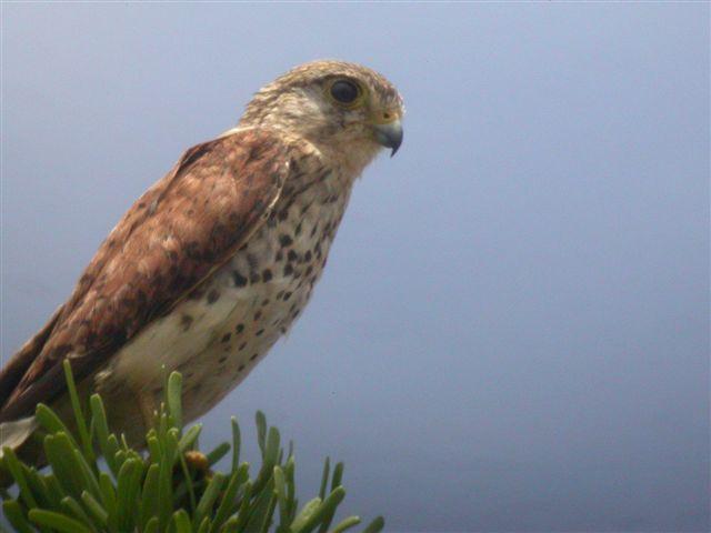 Falconiformes. sub Falconidae - sub fam Falconinae - gênero Falco - Página 2 00000018075