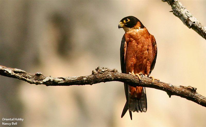 Falconiformes. sub Falconidae - sub fam Falconinae - gênero Falco - Página 3 00000018159