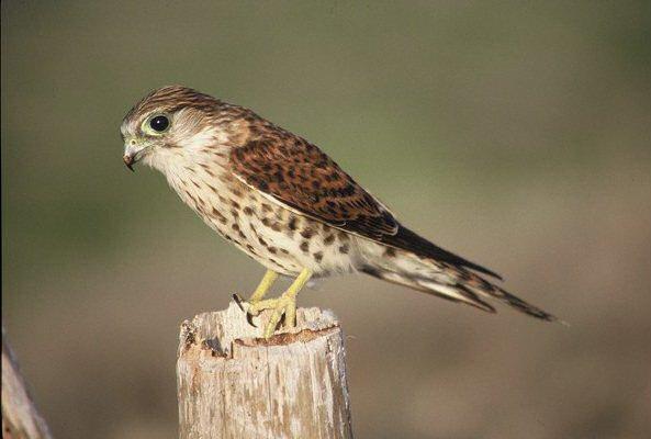 Falconiformes. sub Falconidae - sub fam Falconinae - gênero Falco - Página 2 00000020646