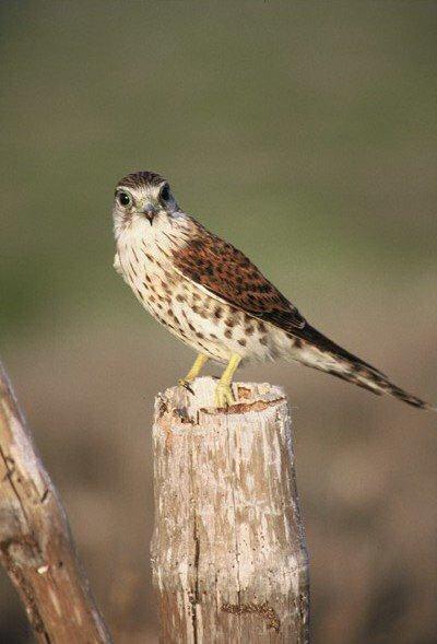 Falconiformes. sub Falconidae - sub fam Falconinae - gênero Falco - Página 2 00000020647