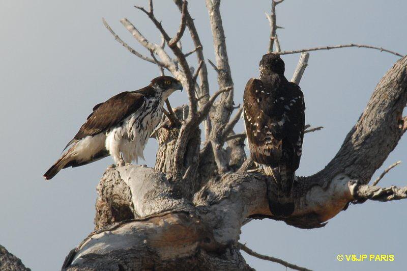 Falconiformes. Família  Acciptridae - Subfamília Buteonidade- Gaviões de penacho. genêro SPIZAETUS 00000021794