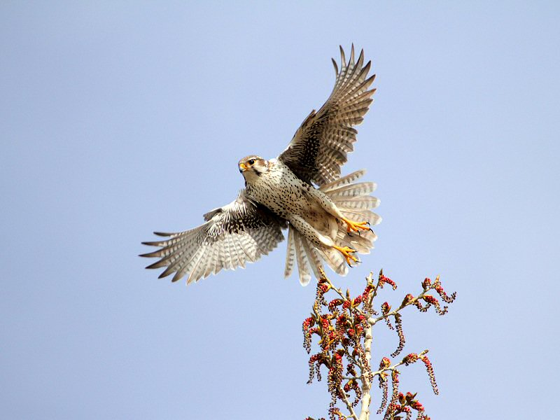 Falconiformes. sub Falconidae - sub fam Falconinae - gênero Falco - Página 2 00000022543