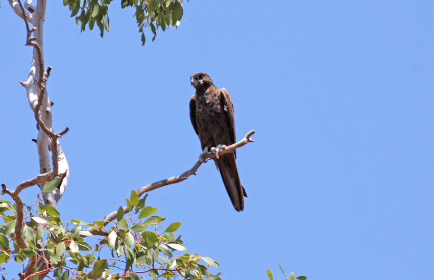 Falconiformes. sub Falconidae - sub fam Falconinae - gênero Falco - Página 3 00000022870