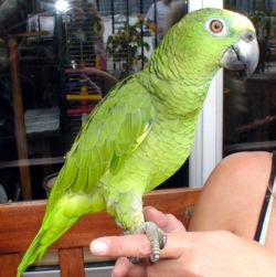 الببغـــــاء Amazon.parrot.arp