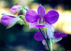 زَهّرةْ الأُوركِّيدْ المَلِكة المُّتوجة .. Orchid