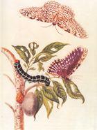 أحداث شهر أبريل 140px-Metamorphosis_of_a_Butterfly_Merrian_1705