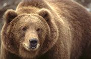افترااااااس ... 180px-Kodiak_Brown_Bear