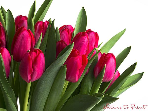Astrid burzelt  Blumen-Tulpen
