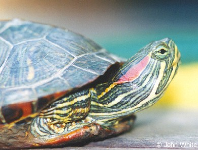 Энциклопедия - ЧЕРЕПАХИ. Виды черепах ( фото и описание ) Все о черепахах. Содержание. Разведение. Кормление.  REDSLIDE1
