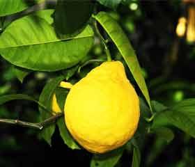 Le CITRON et toutes ses vertus Citronnier
