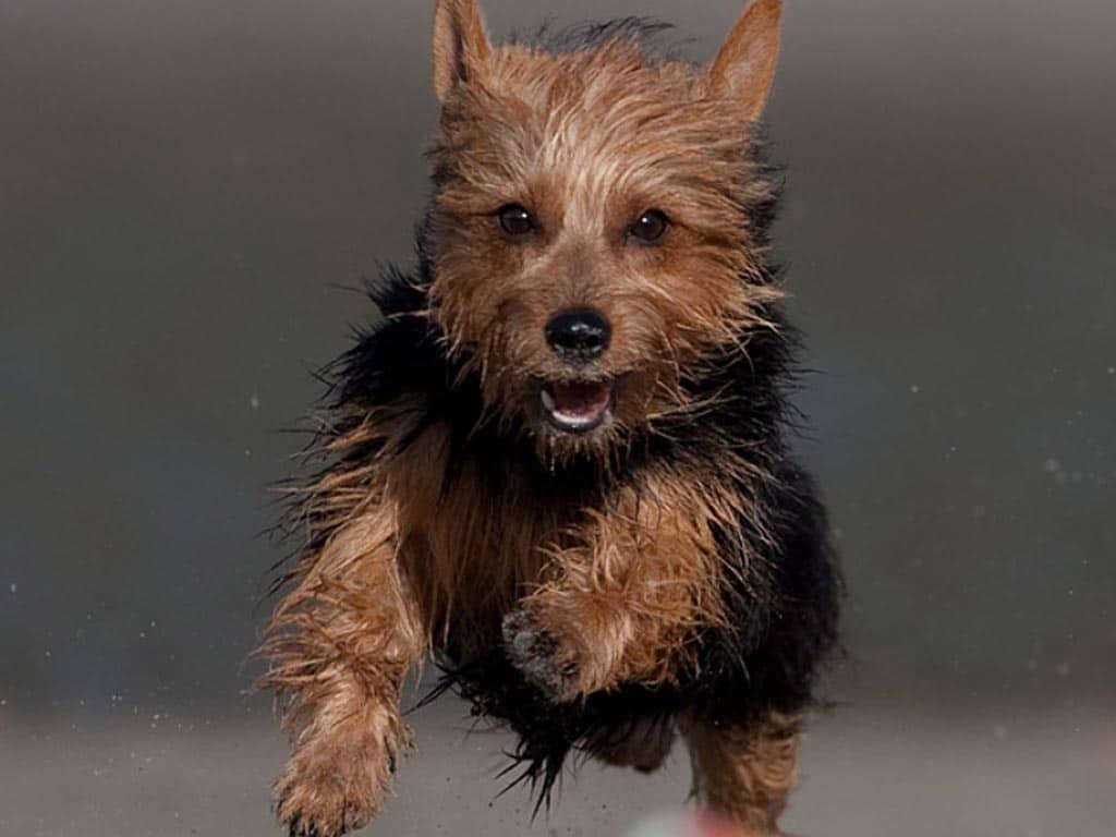 Le Terrier Australien /caractéristiques Australian-terrier1
